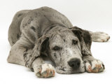 Blue Harlequin Great Dane Pup  'Maisie'  Lying with Chin on the Floor