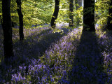 Lanhydrock Beech Woodland with Bluebells in Spring  Cornwall  UK