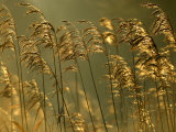Common Reeds  Bude Canal  Cornwall  UK