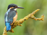 Common Kingfisher Perched on Lichen Covered Twig  Hertfordshire  England  UK