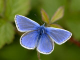Common Blue Butterfly Dunsdon Nature Reserve  Near Holsworthy  Devon  UK