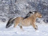 Norwegian Fjord Mare Running in Snow  Berthoud  Colorado  USA