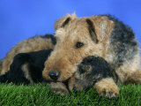 Domestic Dog  Welsh Terrier with Puppy  7 Weeks