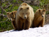 Brown Bear Mother with Cubs  Valley of the Geysers  Kronotsky Zapovednik  Russia
