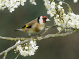 Goldfinch Perched Amongst Blackthorn Blossom  Hertfordshire  England  UK