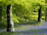 Beech and Bluebell Woodland at Lanhydrock, Cornwall, UK Papier Photo par Ross Hoddinott