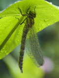 Brown Hawker Aeshna Dragonfly Newly Emerged Adult Sheltering from Rain  West Sussex  England  UK