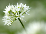 Ramson Wild Garlic Flower  Coombe Valley  Cornwall  UK
