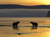 Brown Bears in Water at Sunrise  Kronotsky Nature Reserve  Kamchatka  Far East Russia