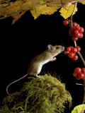 Wood Mouse Investigating Black Bryony Berries  UK