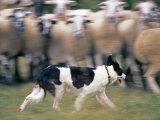 Sheepdog Rounding Up Domestic Sheep Bergueda  Spain  August 2004