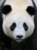 Head Portrait of a Giant Panda Bifengxia Giant Panda Breeding and Conservation Center  China