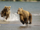 Brown Bears Chasing Each Other Beside Water  Kronotsky Nature Reserve  Kamchatka  Far East Russia