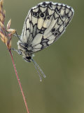 Marbled White Butterfly Covered in Dew at Dawn  Hertfordshire  England  UK