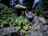 Russian Blue Cat Sunning on Stone Wall in Garden  Italy