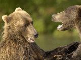 Brown Bears Fighting  Kronotsky Nature Reserve  Kamchatka  Far East Russia