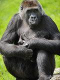 Western Lowland Gorilla Mother Holding Baby Captive  France