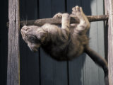 Scottish Fold Cat Hanging Upside-Down from Ladder Rung  Italy
