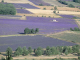 Mosaic of Fields of Lavander Flowers Ready for Harvest  Sault  Provence  France  June 2004
