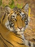 Bengal Tiger Resting Portrait  Ranthambhore Np  Rajasthan  India
