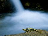 European Salamander on Rock in Stream  Pyrenees  Navarra Region  Spain