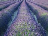 Fields of Lavander Flowers Ready for Harvest  Sault  Provence  France  June 2004