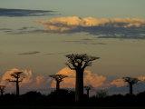Baobab Trees in Baobabs Avenue  Near Morondava  West Madagascar