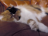 Black  White and Cream Mackerel Tabby Persian Cat Resting in Armchair