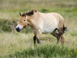 Semi Wild Przewalski Horse Stallion  Parc Du Villaret  Causse Mejean  Lozere  France
