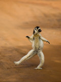 Verreaux's Sifaka 'Dancing'  Berenty Private Reserve  South Madagascar
