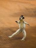 Verreaux's Sifaka 'Dancing'  Berenty Private Reserve  South Madagascar