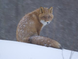Red Fox Sitting in Snow  Kronotsky Nature Reserve  Kamchatka  Far East Russia