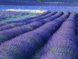 Field of Lavander Flowers Ready for Harvest  Sault  Provence  France  June 2004