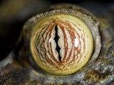 Close Up of Eye of Leaf Tailed Gecko Eye Detail  Nosy Mangabe  Northeast Madagascar