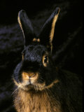 Black and Tan Domestic Rabbit