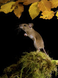 Wood Mouse Standing Up under Beech Leaves in Autumn  UK