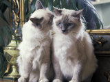 Two Birman Cats Sitting on Furniture  Interacting