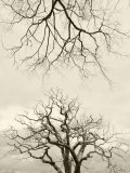 Looking Up at Branches of Dead Wych Elm Trees Killed by Dutch Elm Disease  Scotland  UK