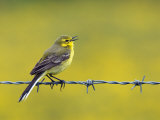 Yellow Wagtail Male Singing from Barbed Wire Fence  Upper Teesdale  Co Durham  England  UK