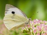 Large Cabbage White Butterfly on Sedum Flowers  UK