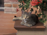 Tabby Cat Resting on Garden Terrace  Italy