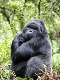 Male Silverback Mountain Gorilla Sitting  Volcanoes National Park  Rwanda  Africa