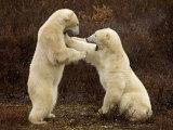 Two Polar Bears Play Fighting  Churchill  Hudson Bay  Canada