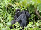 Female Mountain Gorilla Carrying Baby on Her Back  Volcanoes National Park  Rwanda  Africa