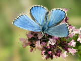 Adonis Blue Male Feeding on Marjoram  Oxfordshire  England  UK