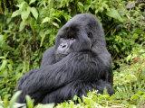 Male Silverback Mountain Gorilla Sitting  Watching  Volcanoes National Park  Rwanda  Africa