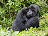 Male Silverback Mountain Gorilla Scratching Face  Volcanoes National Park  Rwanda  Africa