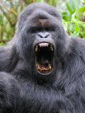 Male Silverback Mountain Gorilla Yawning  Volcanoes National Park  Rwanda  Africa