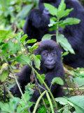 Young Mountain Gorilla Sitting  Volcanoes National Park  Rwanda  Africa