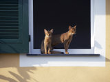 Young Somali Cat and Abyssinian Cat Sitting on Window Ledge  Italy